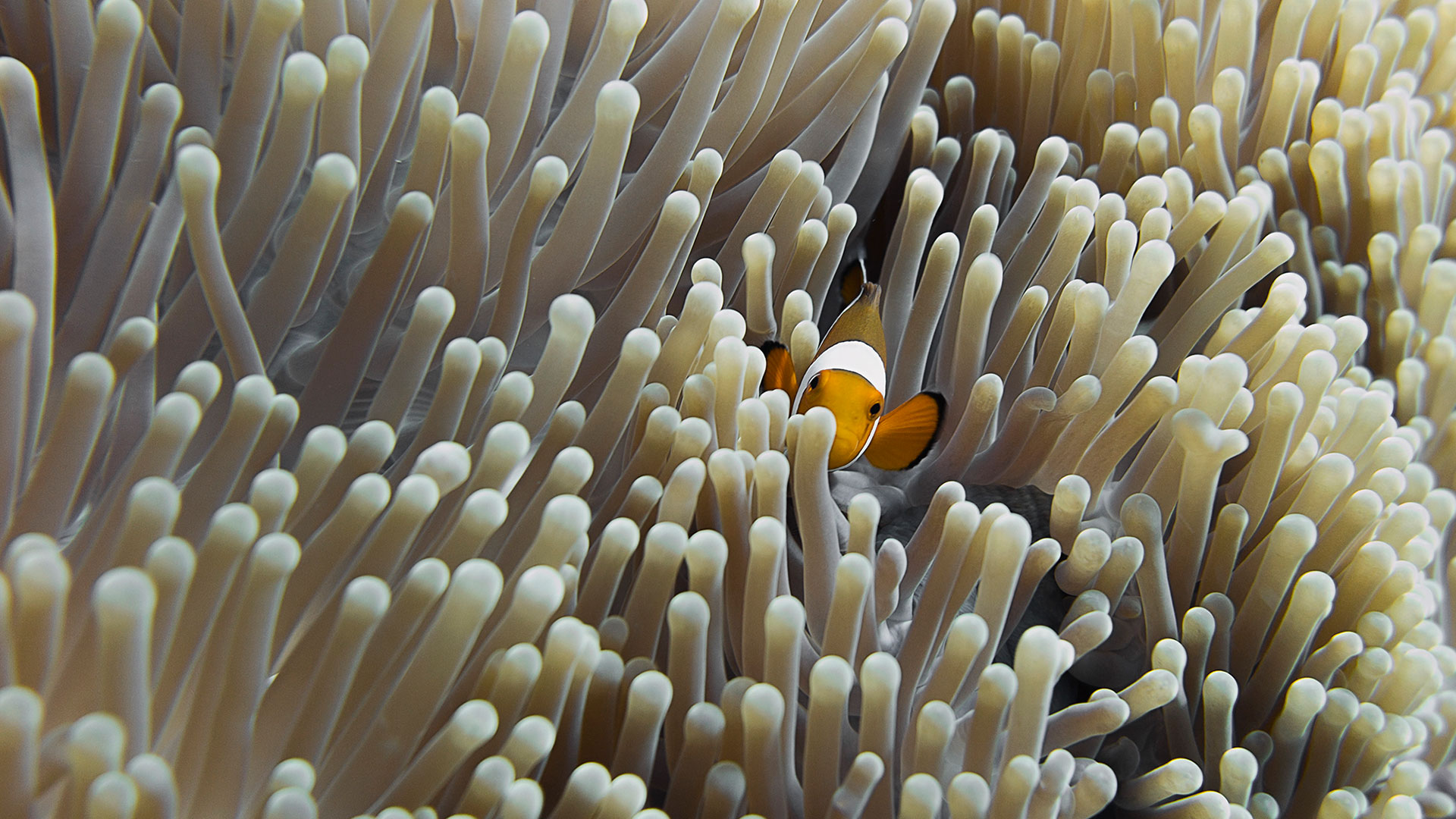Clown_fish_closeup